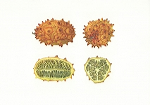 <strong>Horned Melon</strong> |